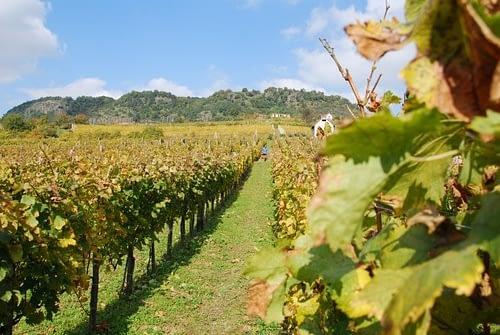 hungarian winefield 2